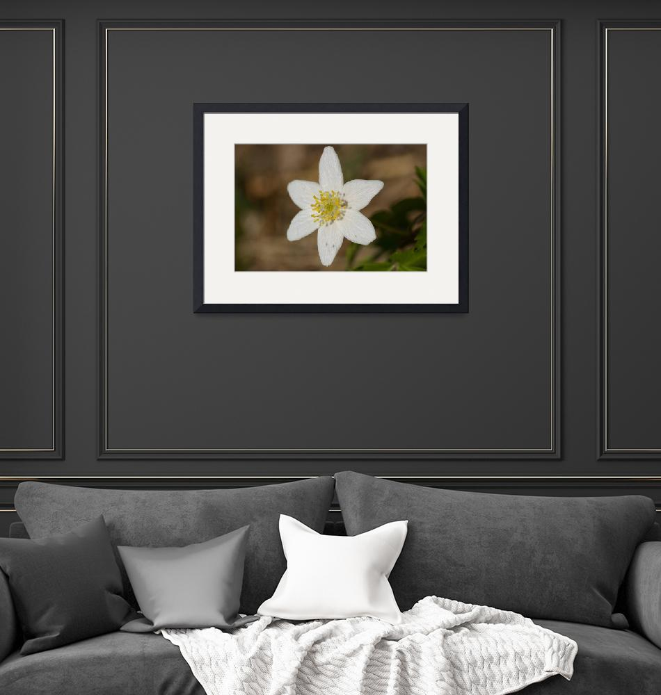 """Wood anemone""  (2010) by mellting"