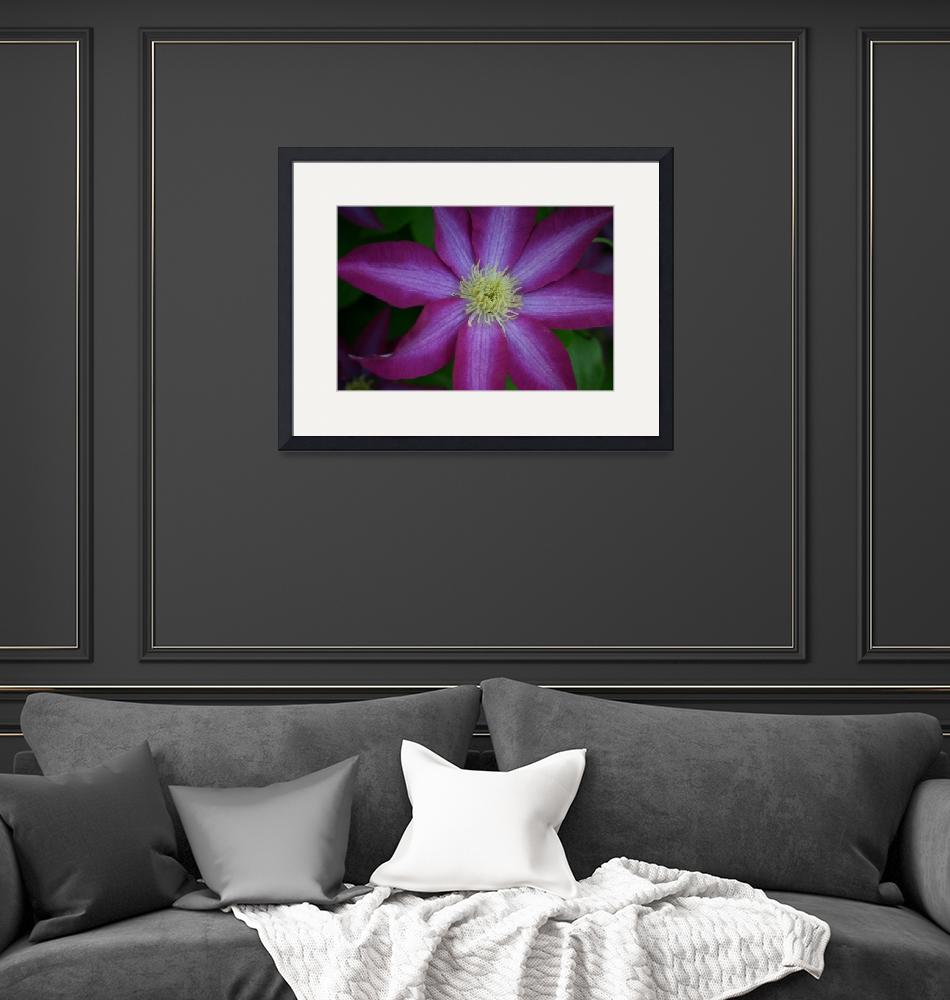 """""""Single Purple Clematis Blossom""""  (2008) by imaginativeimagery"""