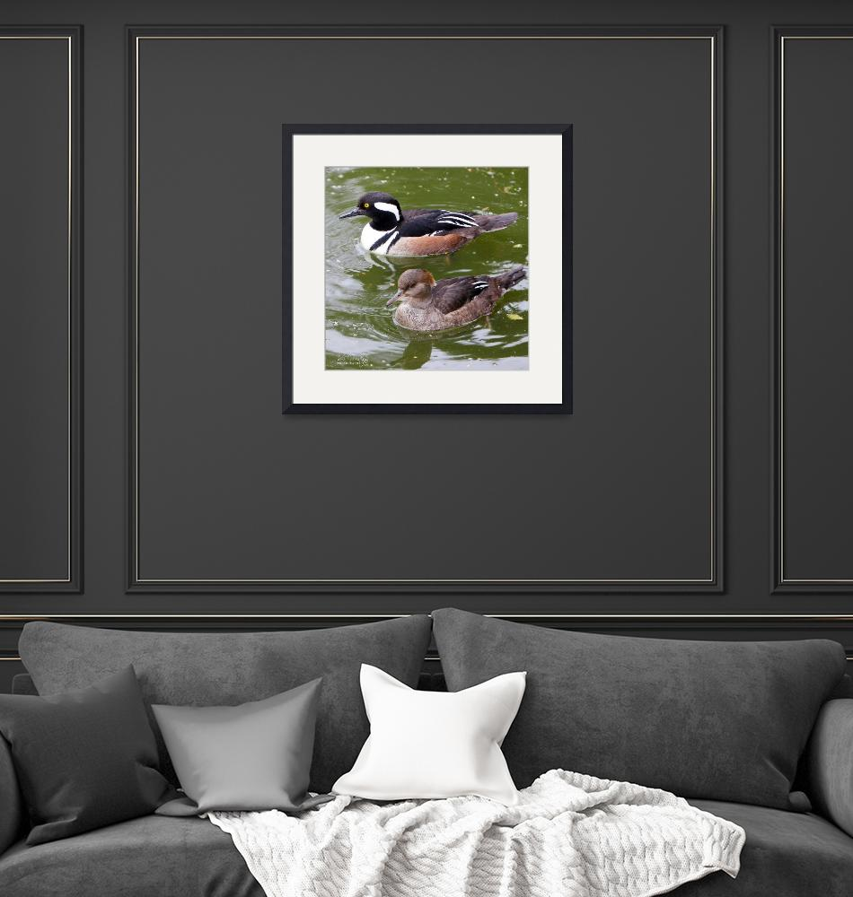 """hooded merganser duck couple""  by jakigoodphotography"