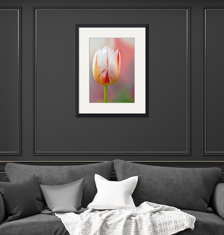 """""""White and Red Tulip""""  (2014) by joanhan"""