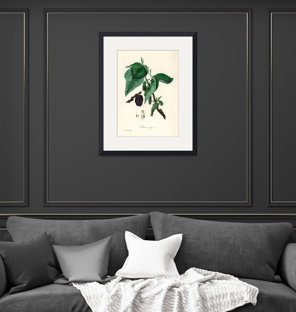 """""""Vintage Botanical Black mulberry""""  by FineArtClassics"""