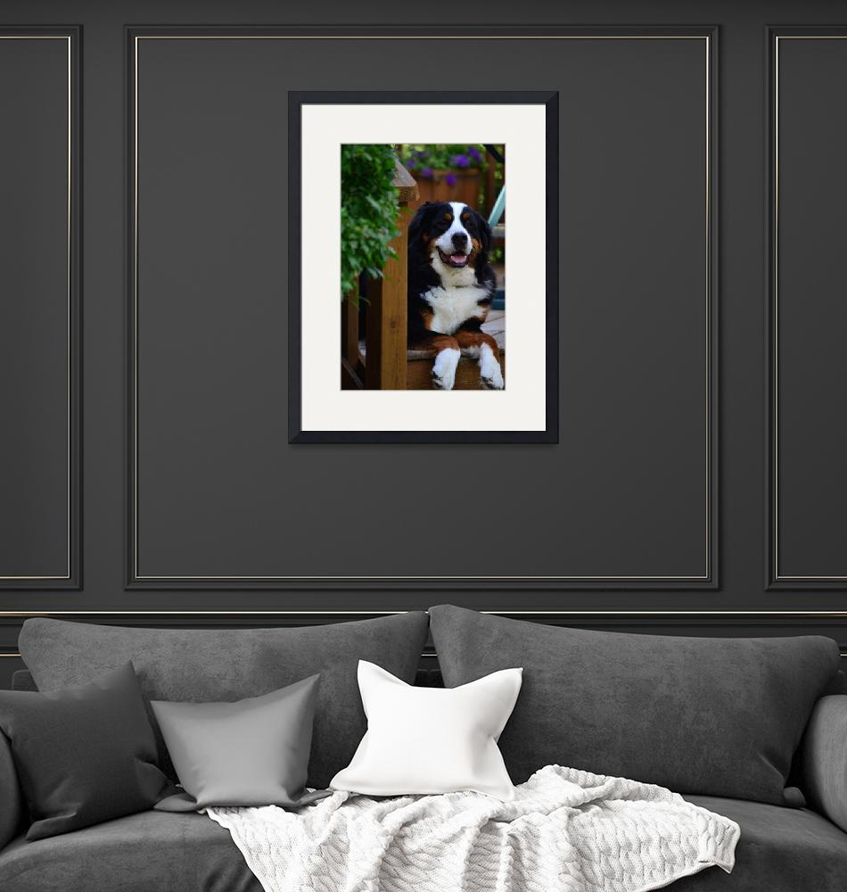 """Relaxing Bernese Mountain Dog""  (2011) by photographer97"