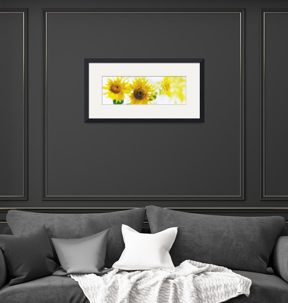 """""""Sunflowers""""  by Panoramic_Images"""