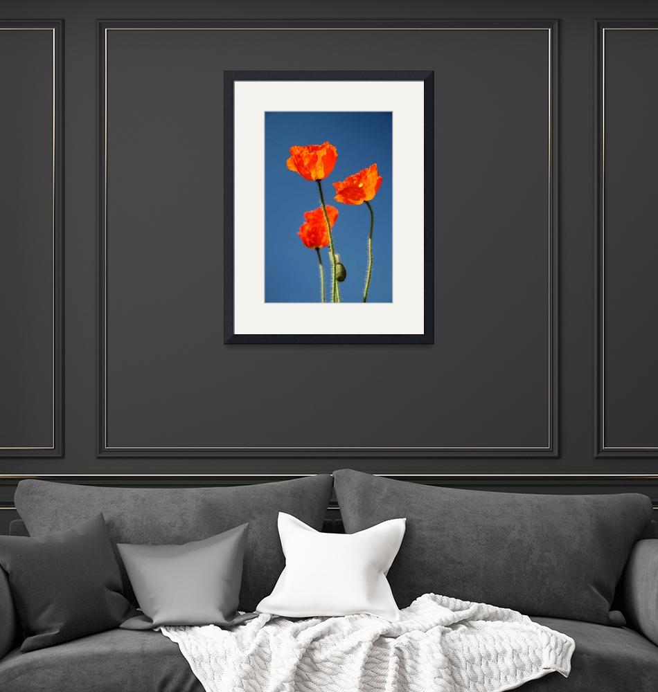 """Blue Sky Poppies 7954""  (2011) by rayjacque"