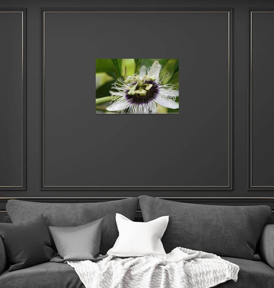 """Lilikoi Passion Flower Passiflora edulis Tropical""  (2010) by sharonmau"