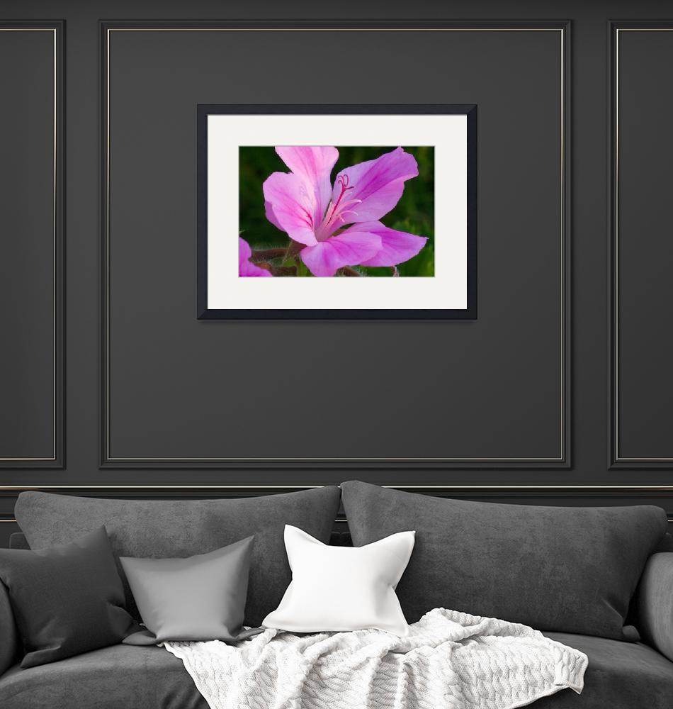 """""""Pink Pelargonium""""  by paulyoung"""
