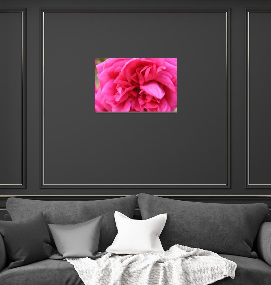 """Fuchsia rose""  by Cativationart"