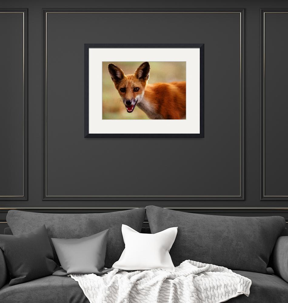 """""""Red fox (Vulpes vulpes)""""  by JenningsPhotography"""