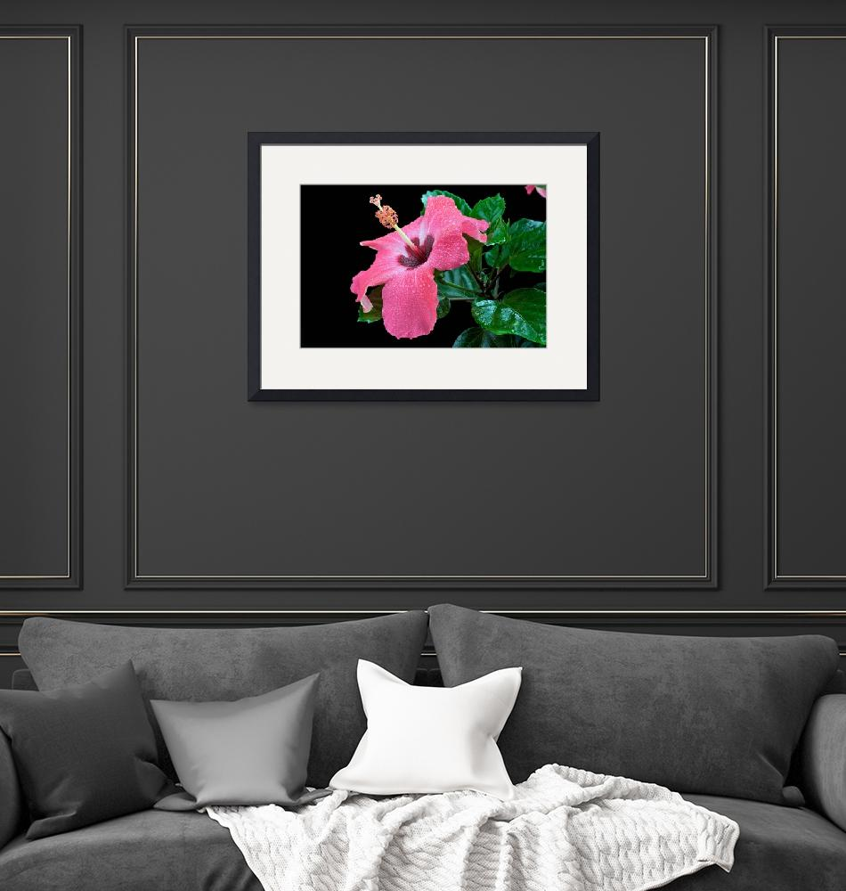 """""""Pink Hibiscus flower""""  (2010) by ImageArt-Photography"""