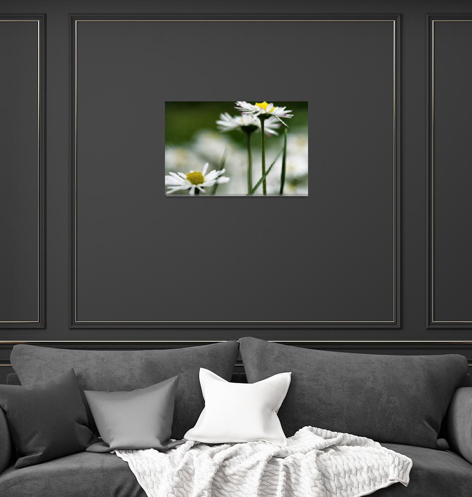 """""""Three Daisies in Spring""""  (2013) by boppintheblues"""