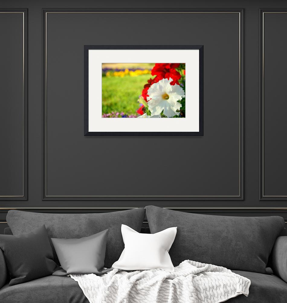 """""""white and red petunia""""  (2016) by photographyview"""