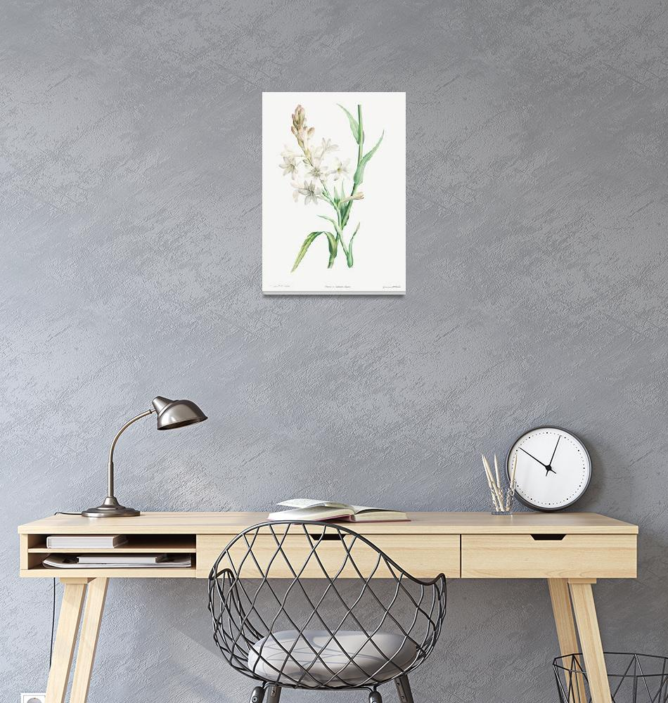 """Tuberose, Polianthes Tuberosa Vintage Botanical""  by FineArtClassics"