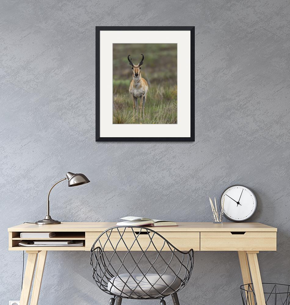 """""""Pronghorn Antelope Buck""""  (2015) by GLL"""