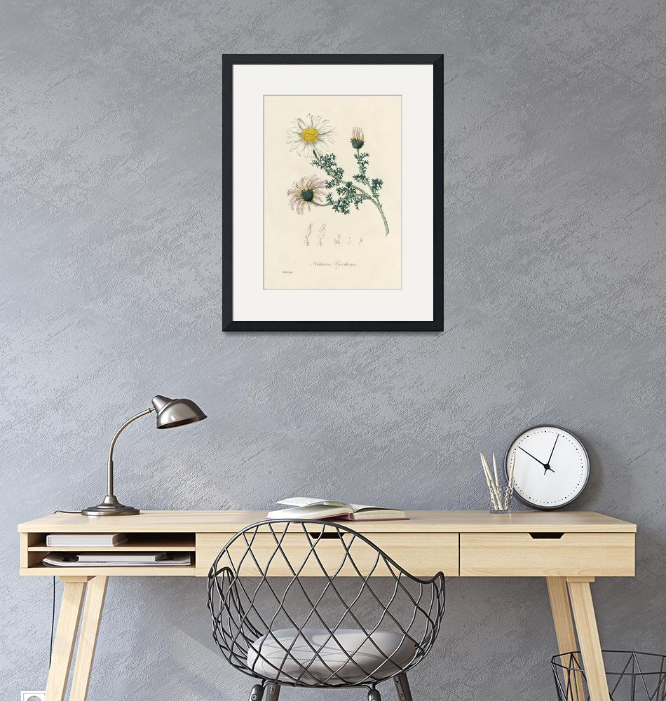 """Vintage Botanical Mount Atlas Daisy""  by FineArtClassics"