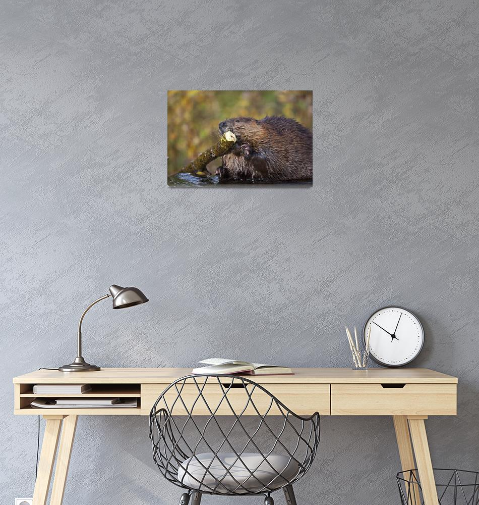 """Beaver Chewing On Log In A Pond, Denali National P""  by DesignPics"