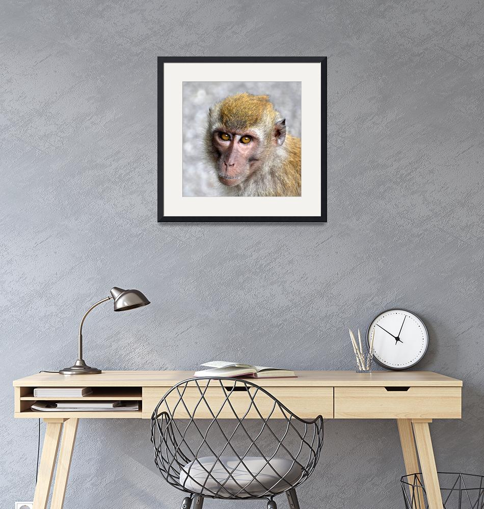 """""""Macaque monkey portrait staring at the camera""""  (2019) by Mickcarr"""