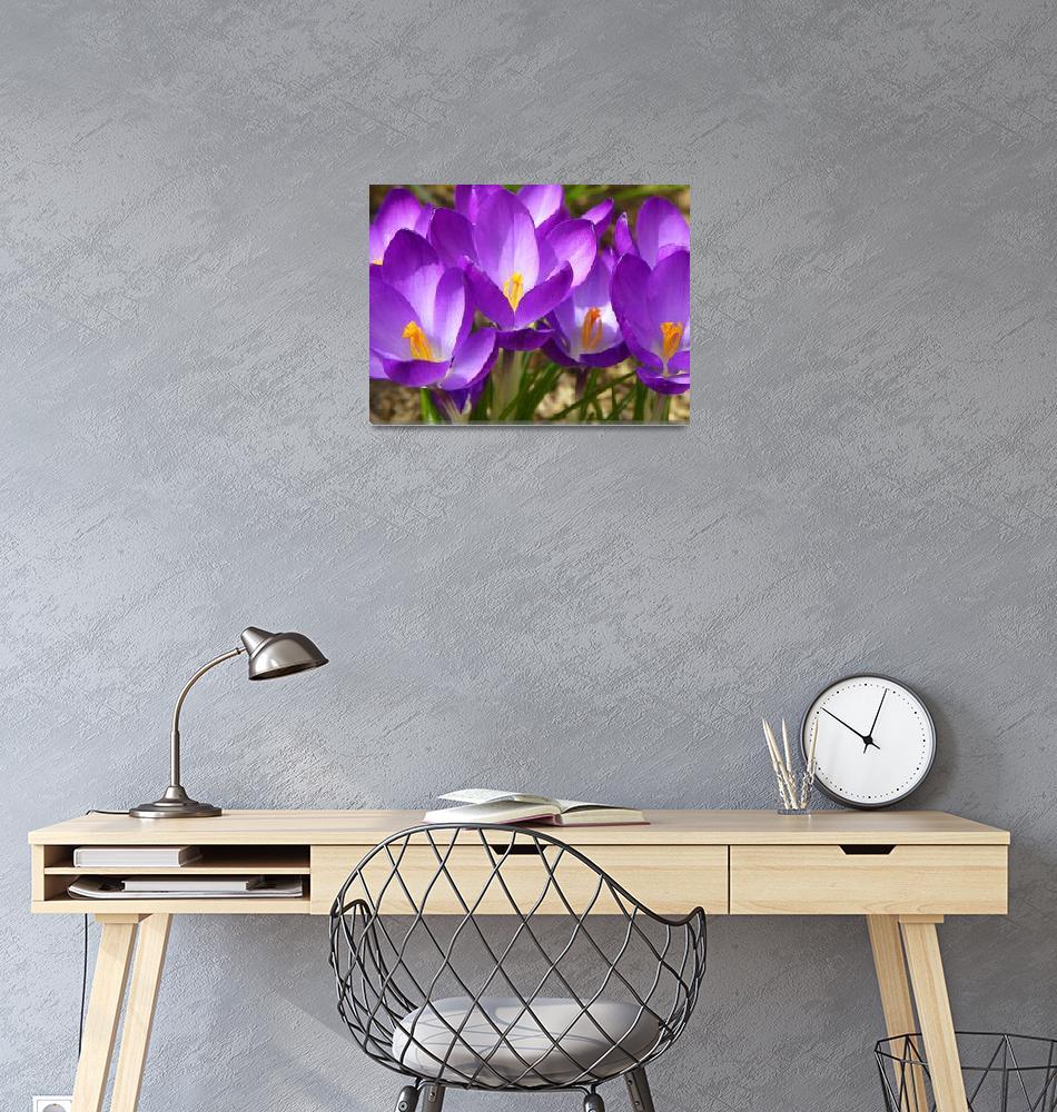 """""""Spring Crocus Flowers""""  (2013) by vpicks"""