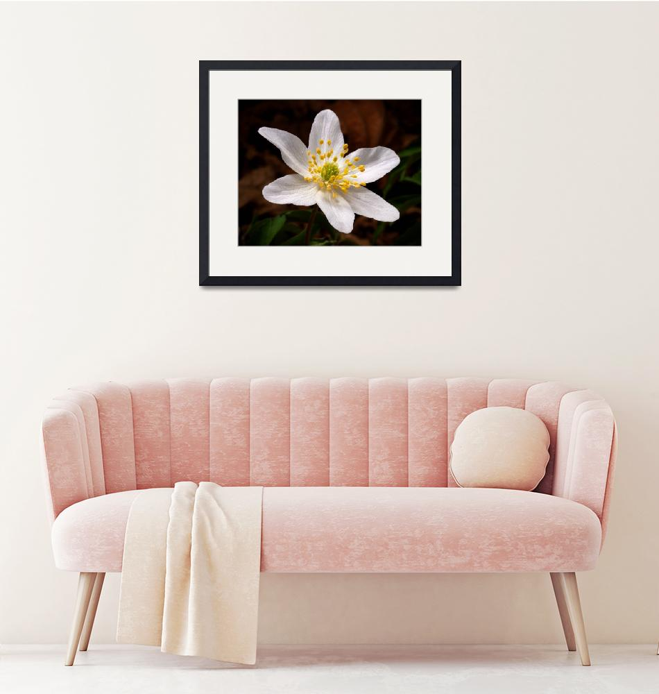"""""""Wood Anemone""""  (2010) by roger"""