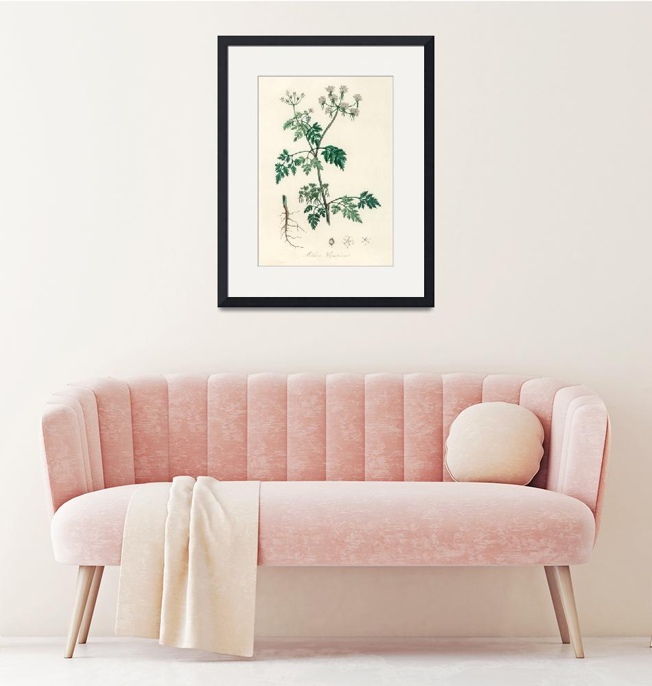 """""""Vintage Botanical Poison parsley""""  by FineArtClassics"""