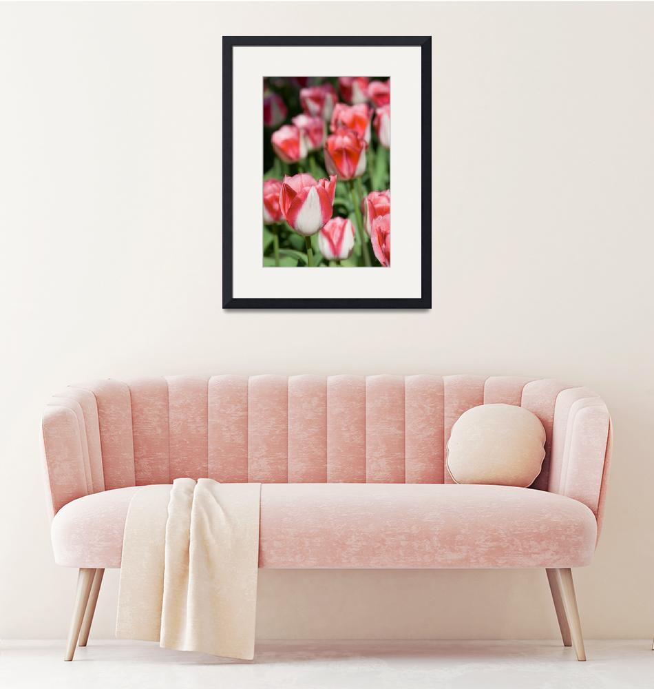 """""""Pink and White Tulips""""  (2009) by ianclasper"""