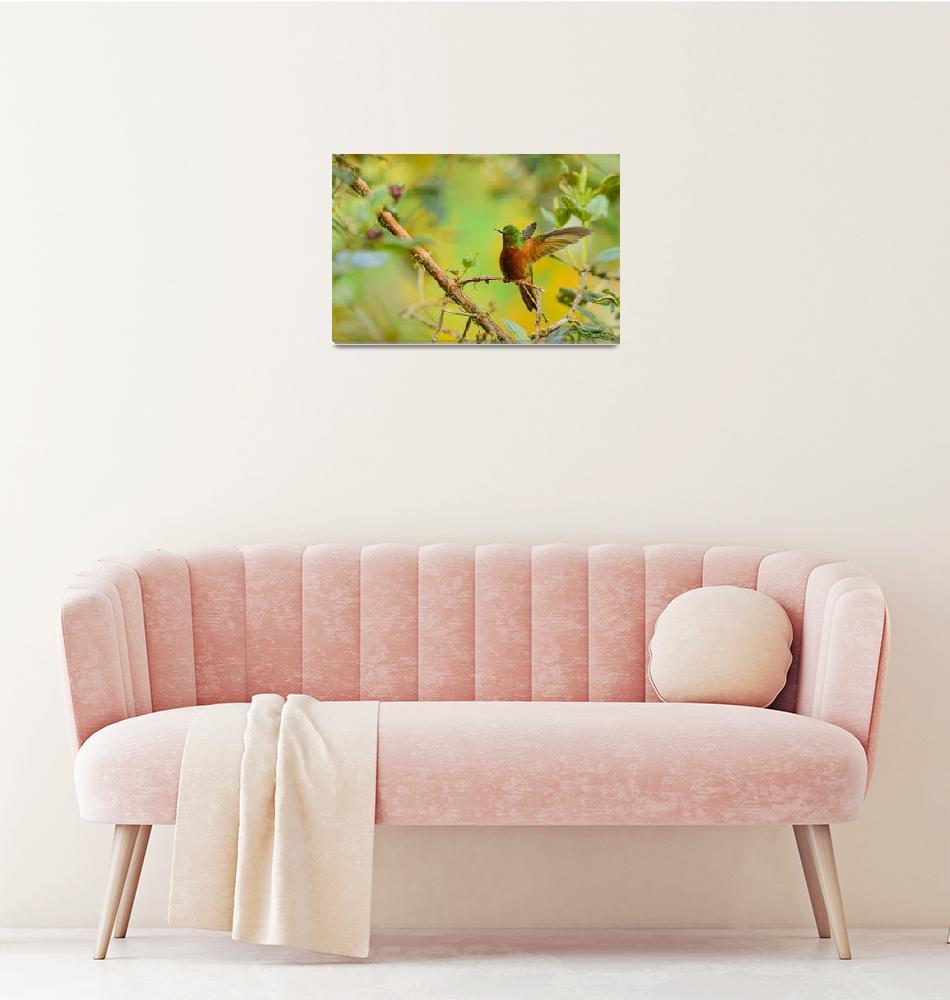 """Chestnut-Breasted Coronet Hummingbird BiNTHu-0232""  by PronghornPix"