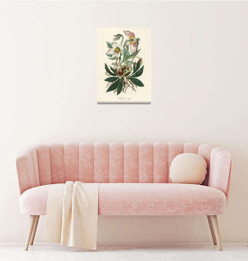 """Christmas rose (Helleborus niger) illustration fro""  by motionage"