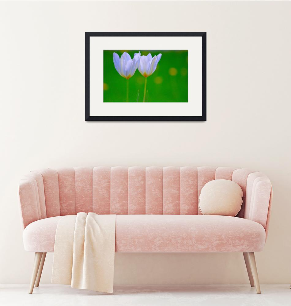 """""""Twin White Tulips""""  (2014) by joanhan"""