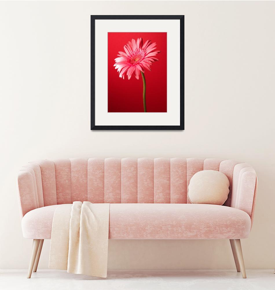 """Pink Gerbera Daisy Charming""  (2006) by Infomages"