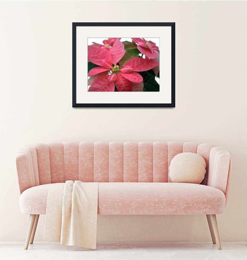"""Pink Poinsettia 3""  (2007) by ChristopherInMexico"
