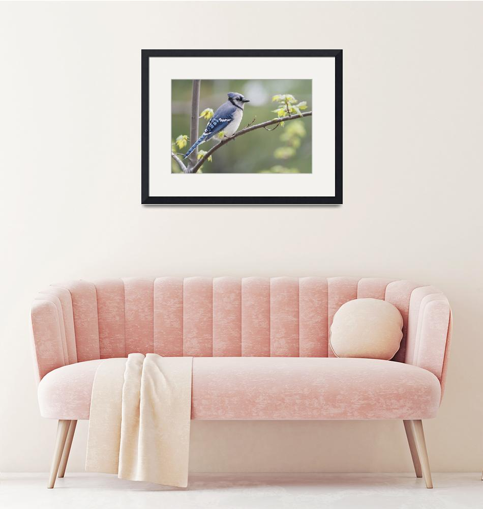 """""""Blue Jay Perched On Budding Maple Tree In Springti""""  by DesignPics"""