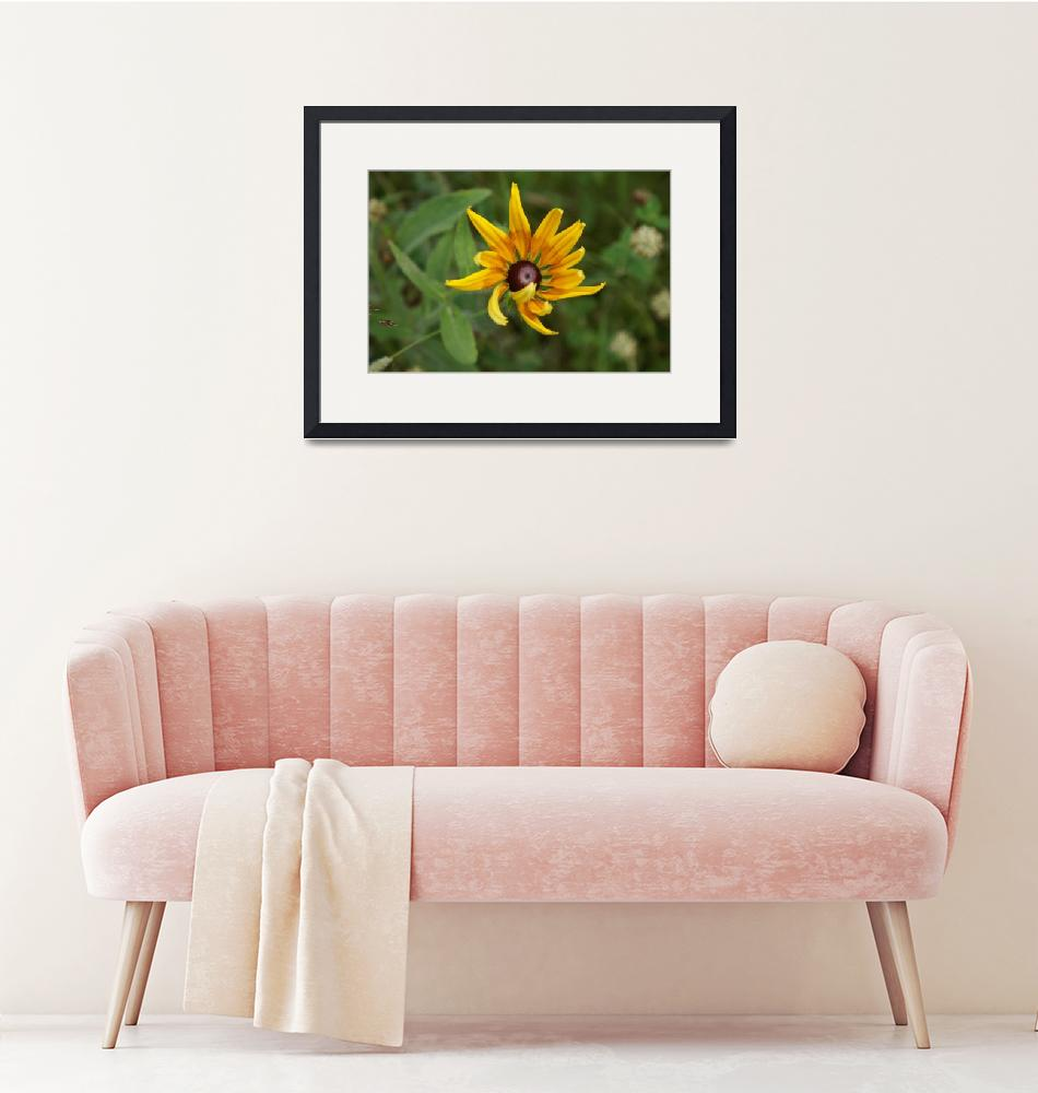 """""""Black Eyed Susan""""  (2008) by LHPhotography"""