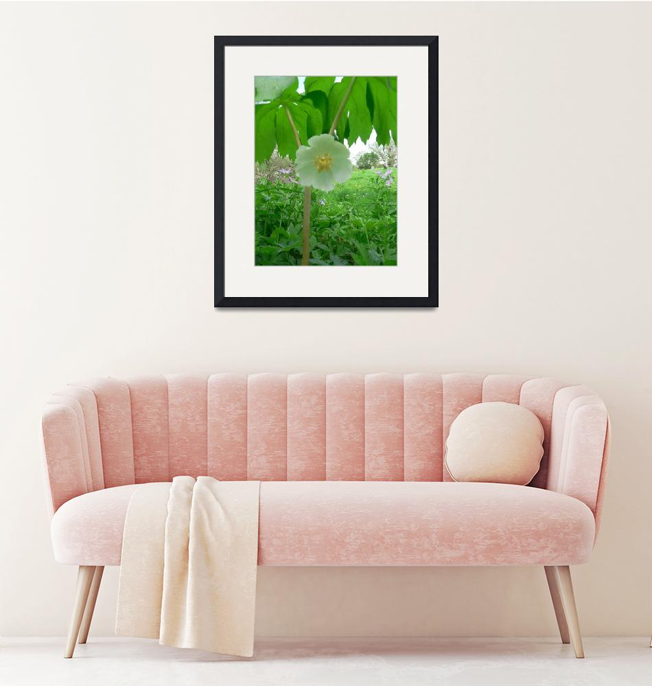 """Mayapple in bloom, Dee Oberle""  (2007) by GypsyChicksPhotography"