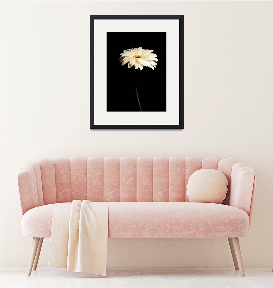 """""""White Gerbera Daisy Admirable""""  by Infomages"""