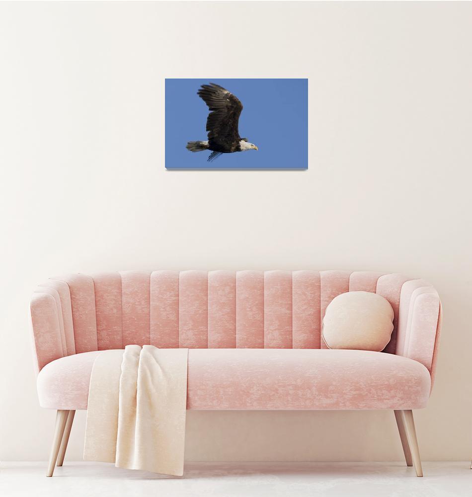 """Bald Eagle In Flight""  (2010) by LarryBohlin"