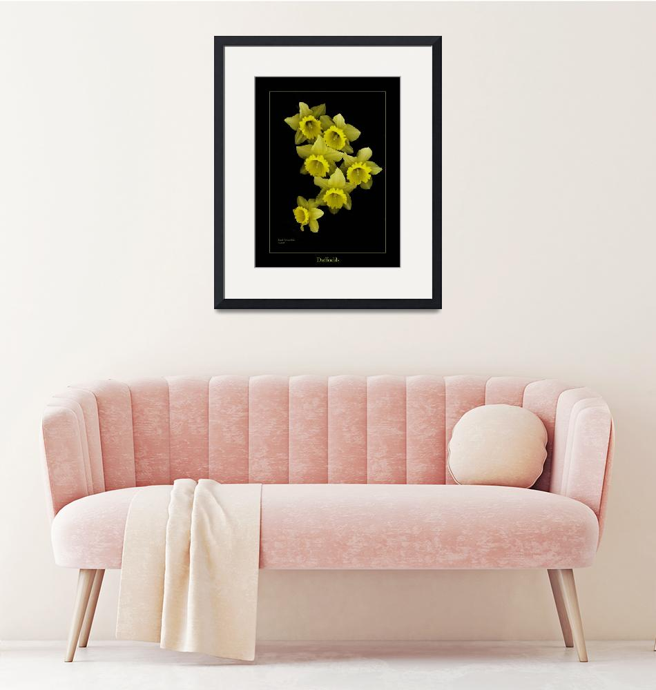 """""""Daffodils on Black""""  (2008) by DocPixel"""