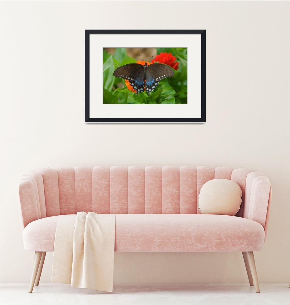 """Spicebush Swallowtail Butterfly""  by tricia"