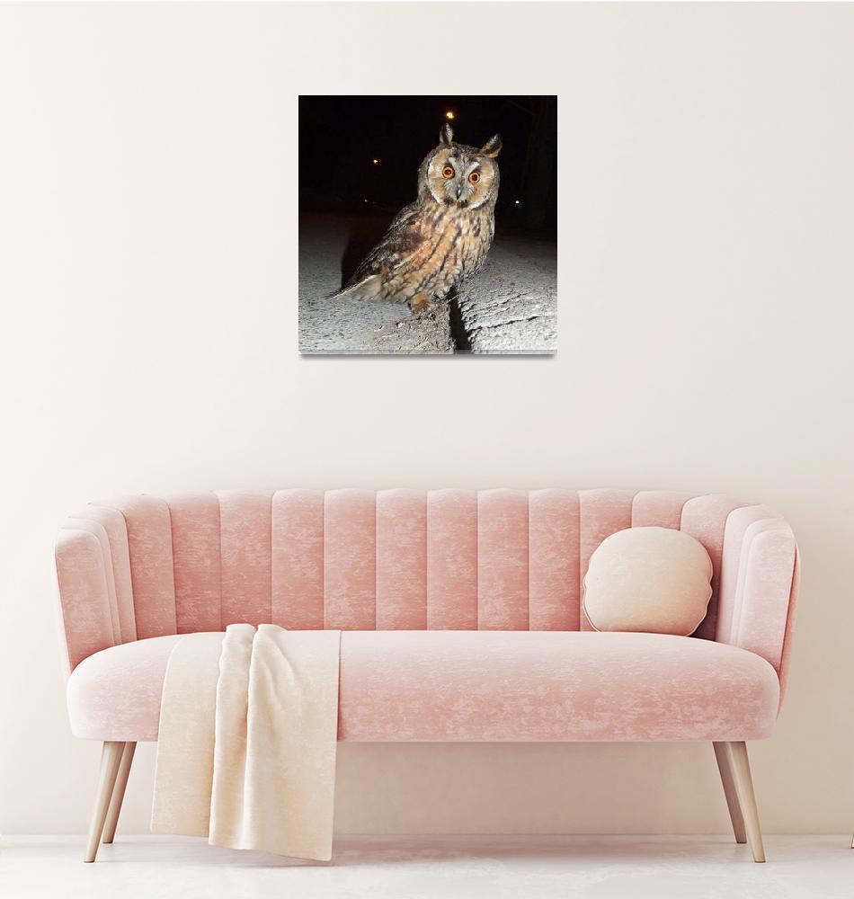 """Long eared owl (Asio otus) DSCF1769""  by Banstolac"