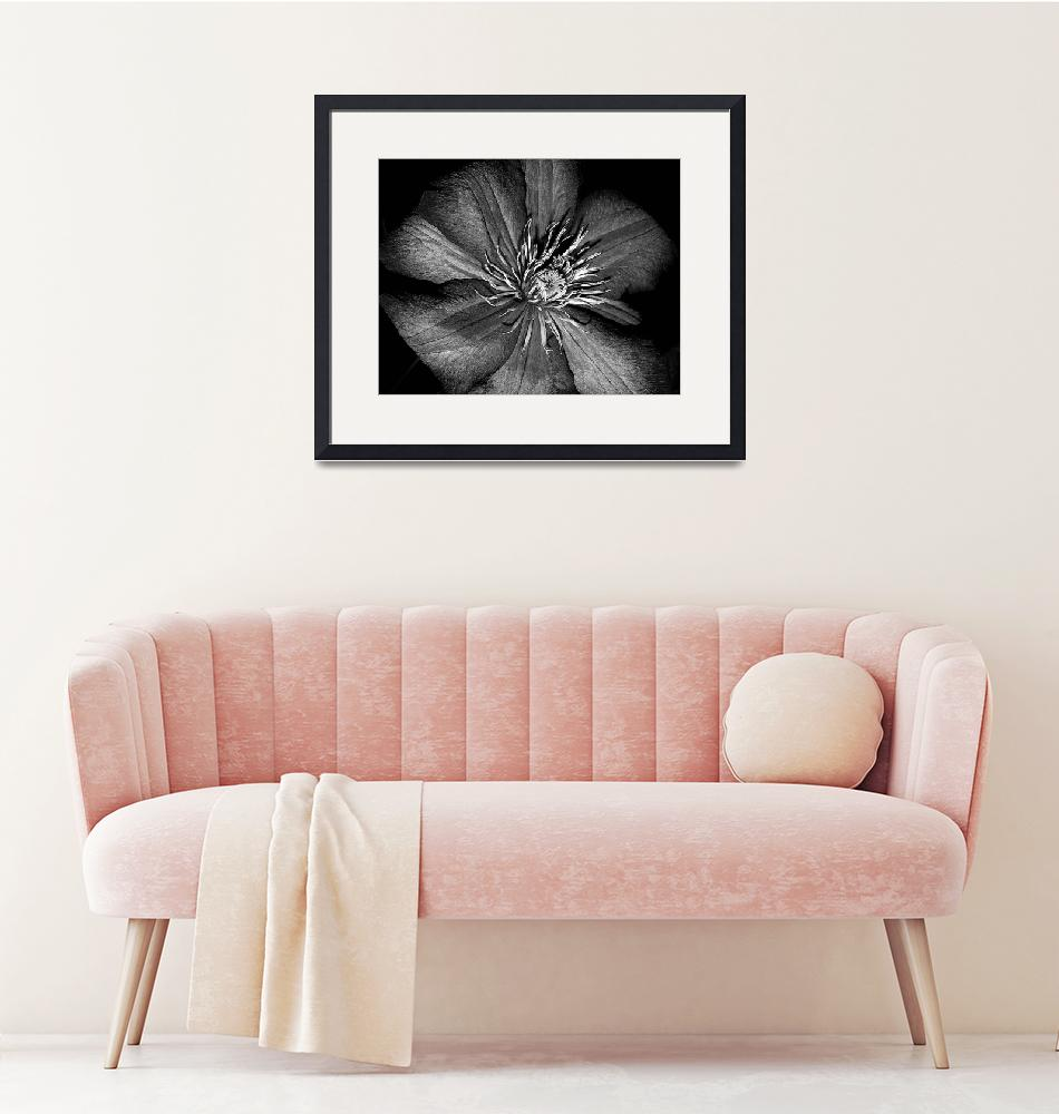 """""""Clematis In Black And White""""  (2009) by bavosiphotoart"""