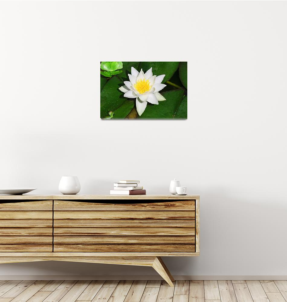 """""""White-and-Yellow-Lilly-with-Green-Lilly-Pads-Singl""""  (2014) by maxwelljordan"""