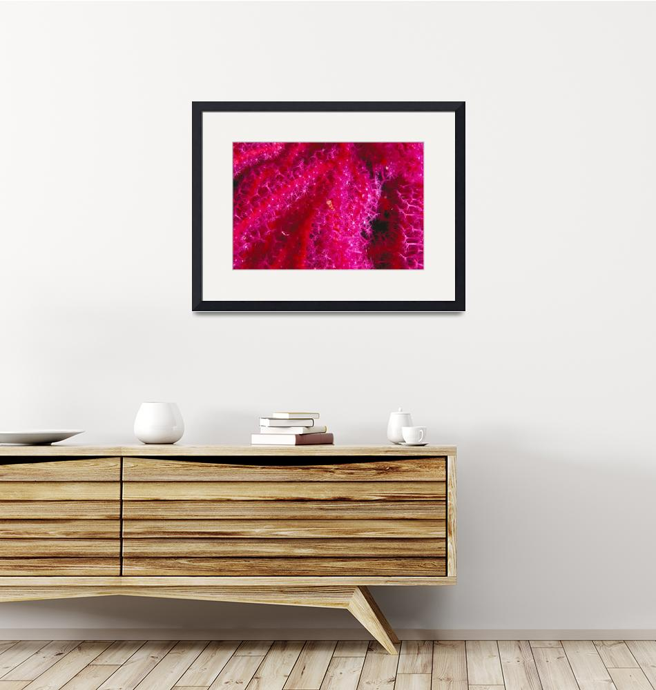 """""""Solomon Islands, Bright Pink Soft Coral With Goby""""  by DesignPics"""