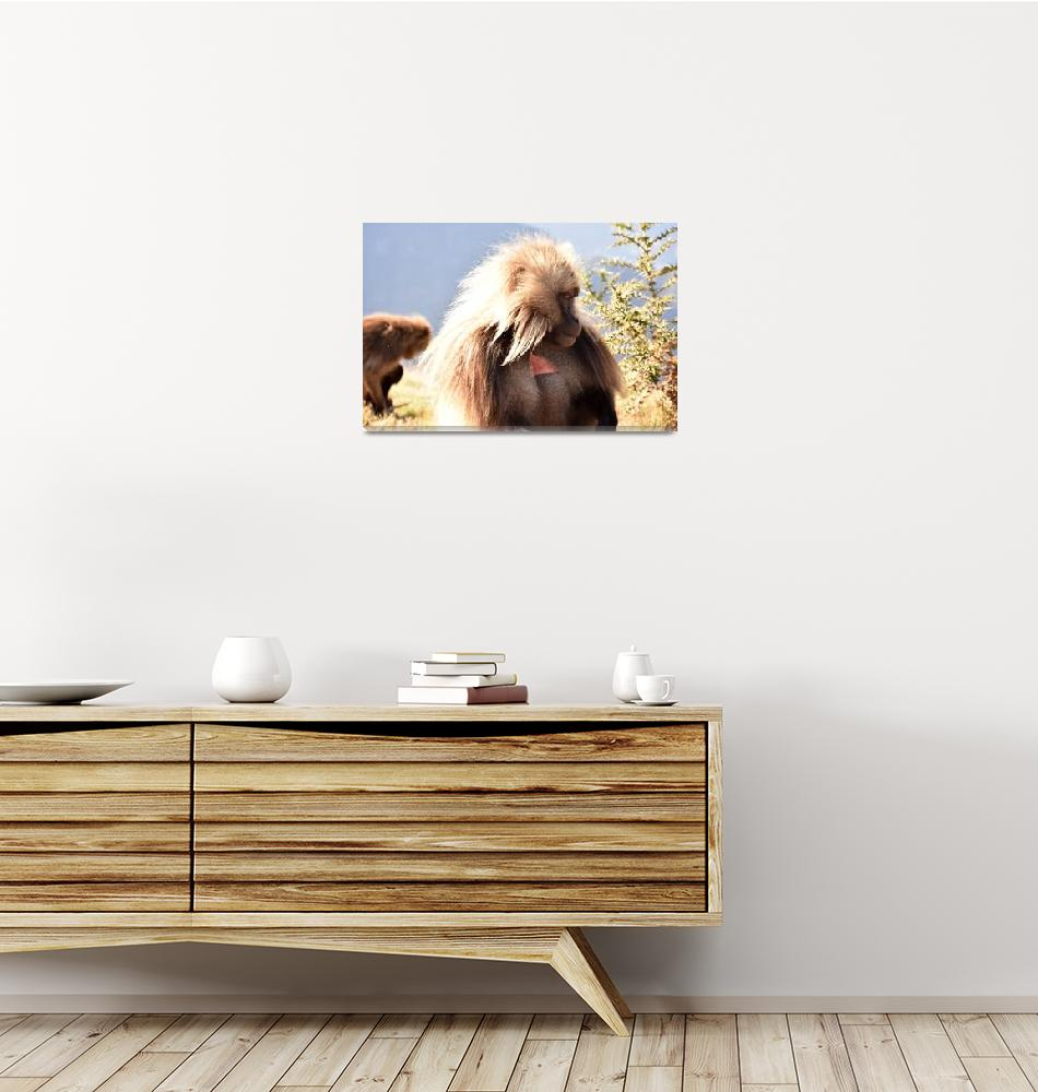 """""""Gelada baboon looking away from camera, Ethiopia""""  (2018) by Mickcarr"""