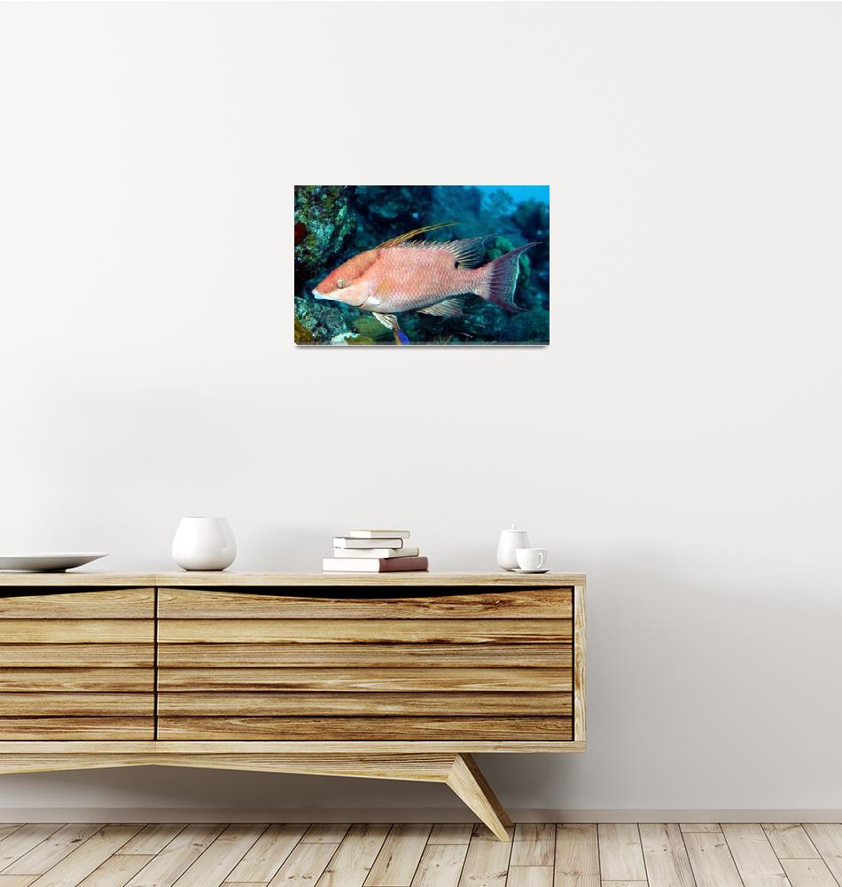 """""""Hogfish""""  (2006) by JoaoPonces"""