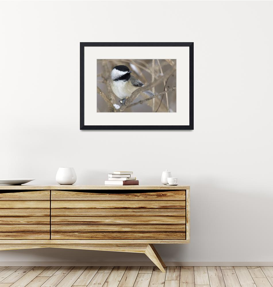 """""""Chickadee 1DH314highres""""  by jimcrotty"""
