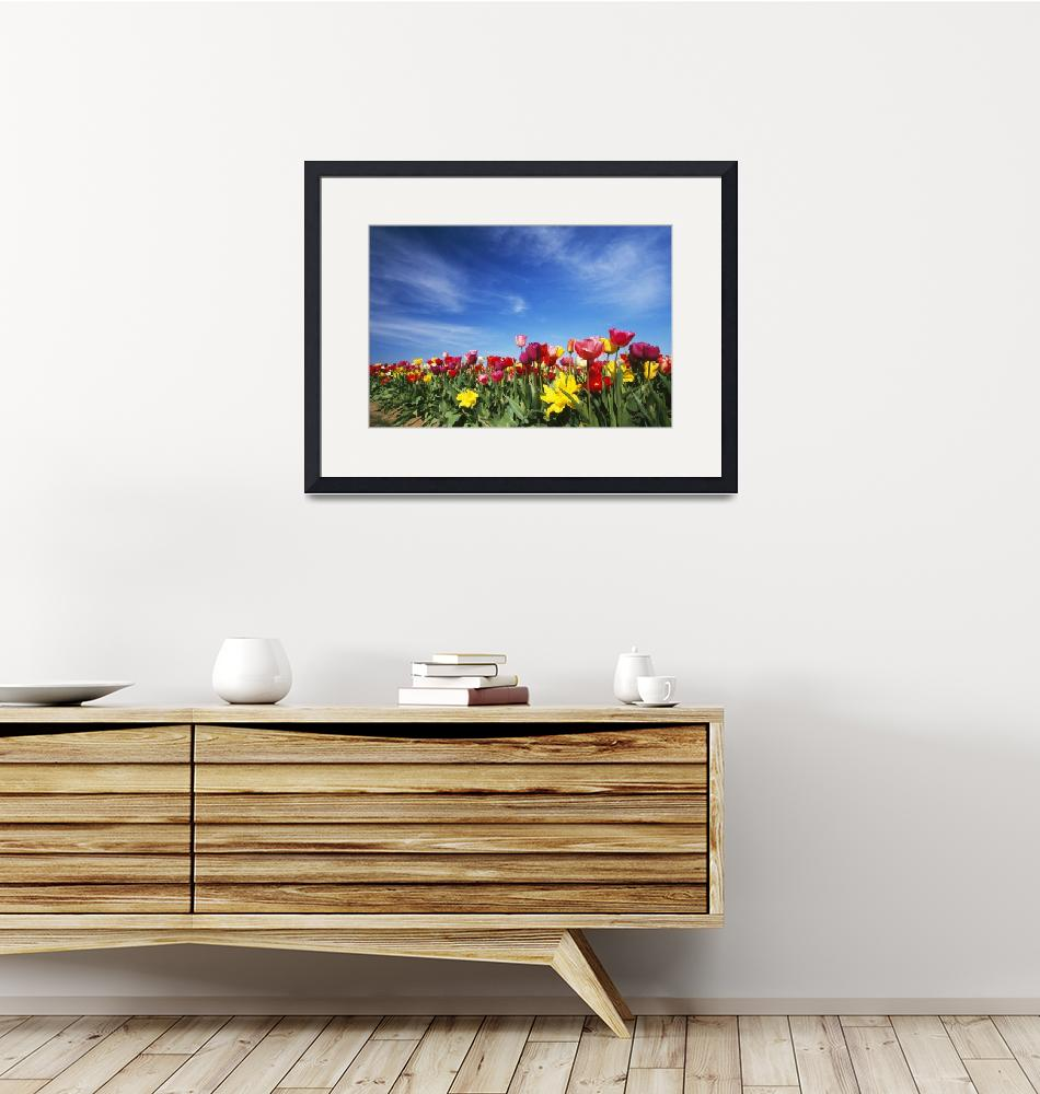"""""""Field of blooming tulip flowers""""  by Panoramic_Images"""
