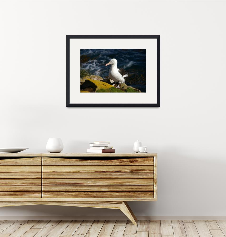 """""""Cross Looking Albatross Stand At Top Of Sea Cliff""""  (2008) by MarilynsArt"""