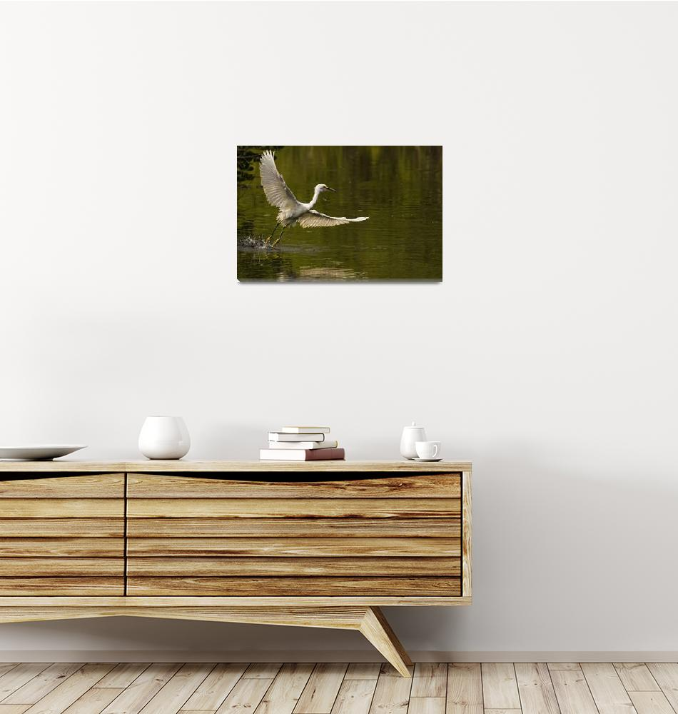 """Snowy Egret Fishing In Florida, USA""  by DesignPics"