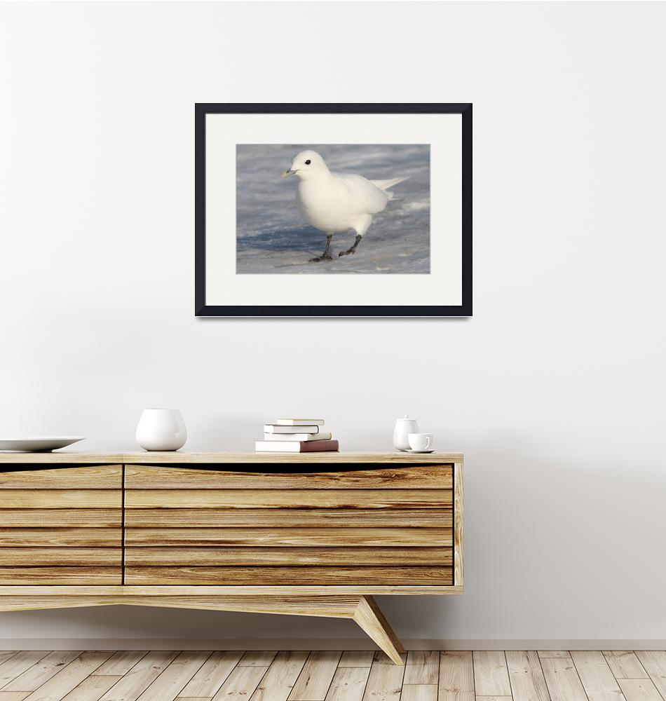 """Ivory Gull in Plymouth Harbor II - 1-27-09 138""  by Cavanaugh"