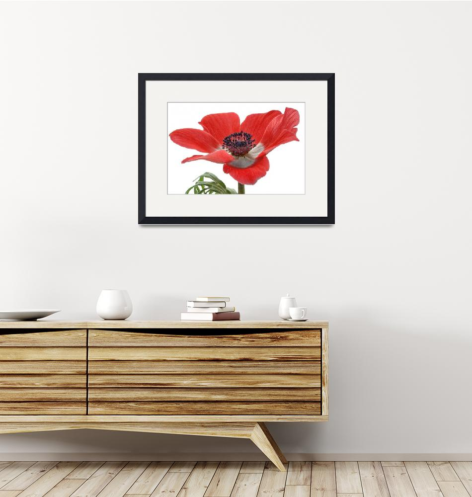 """""""Red Anemone On White""""  (2010) by AnnG"""