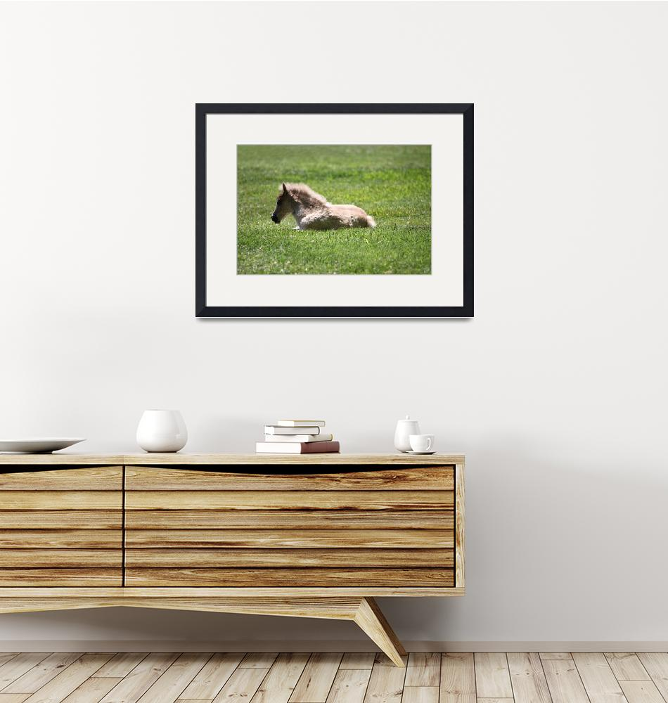 """""""Baby Miniature Horse_04""""  (2010) by SBCountyImages"""