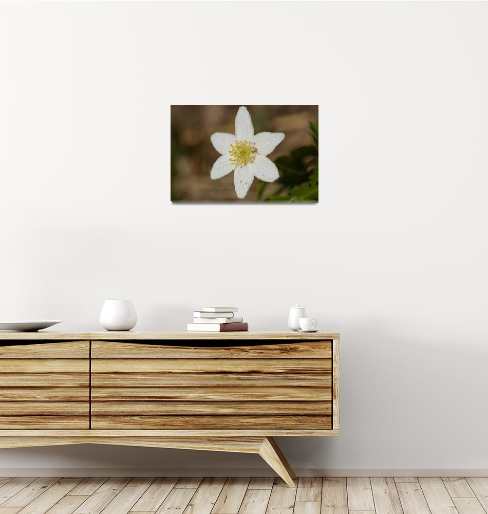 """""""Wood anemone""""  (2010) by mellting"""